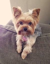 jenn on yorkies dog and yorkshire terrier