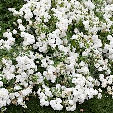 drift roses icy drift roses icy drift roses for sale fast growing trees