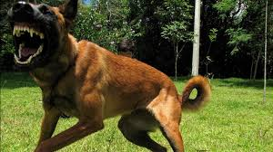 belgian shepherd 2 months malinois dog attack 2 best dogs attacks amazing youtube