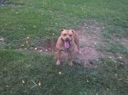 american pitbull terrier kingfish bloodline i u0027m looking for pitbulls go pitbull dog forums