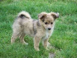 australian shepherd spaniel mix australian shepherd breed guide learn about the australian shepherd