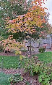 outdoor u0026 garden wonderful paperbark maple tree for garden