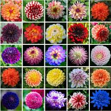 50seeds pack rare plant garden dahlia seeds charming chinese