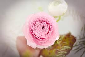 Ranunculus Flower Free Photo Ranunculus Flower Blossom Bloom Free Image On