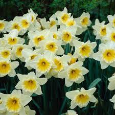 daffodil assorted colors flower bulbs garden plants