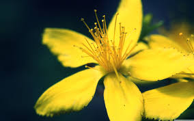 yellow flower hd desktop wallpaper widescreen high definition