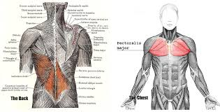 the muscles of the chest and back anatomy medicine com