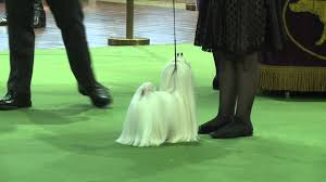 who won the dog show on thanksgiving maltese westminster kennel club dog show 2016 youtube
