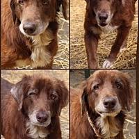 belgian sheepdog rescue ohio chillicothe oh pet adoption grateful hearts senior dog rescue
