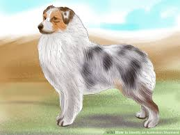 australian shepherd 4 months size how to identify an australian shepherd 12 steps with pictures