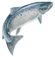 7 best salmon ideas images on pinterest fish art fly fishing