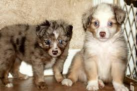 australian shepherd dog puppies blue horizon toy australian shepherds