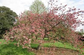 Flowering Cherry Shrub - prunus u0027kanzan u0027 japanese flowering cherry