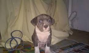 american pitbull terrier gotti razors edge american pit bull terrier for sale ads free classifieds
