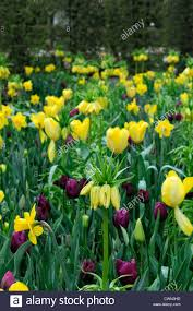 mixed bed border spring blooming bulbs yellow purple colour color