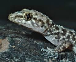 mediterranean house gecko tucson herpetological society