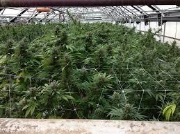 growing methods indoor vs greenhouse vs outdoor