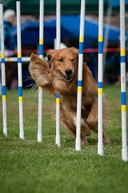 afghan hound agility 15 breeds that excel at training and performance u2013 iheartdogs com