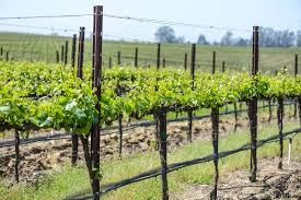 grapevine trees the historical symbolism of grapes and grapevines sponsor an