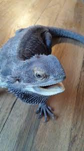 black baby bearded dragon