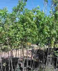 arbol encino rojo quercus rubra 350 en melinterest