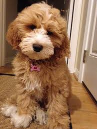 goldendoodle puppy treats 262 best mini goldendoodles images on friends and