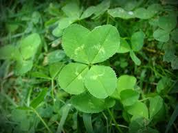what makes a four leaf clover a lucky legume u2013 urban garden guru