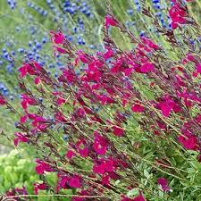 95 best hummingbird flowers images on pinterest gardening