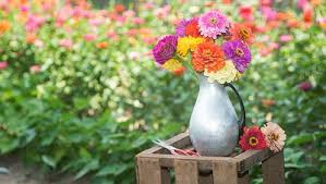 How To Grow A Bulb In A Vase How To Grow Bright Beautiful Zinnias Rodale U0027s Organic Life
