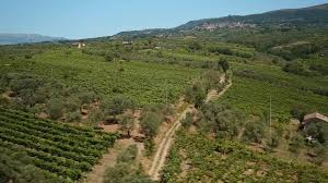 the drone flies on a large vineyard and a field of olive trees in