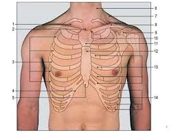 rib cage anatomy where are your ribs located thoracic cage hd