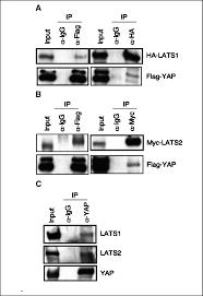 Yap Flag Negative Regulation Of Yap By Lats1 Underscores Evolutionary