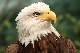 14 bold facts about bald eagles mental floss