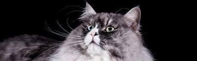 alimentazione casalinga gatto allevamento gatto siberiano e neva masquerade cura e
