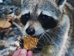 the 5 best raccoon baits reviews u0026 ratings nov 2017