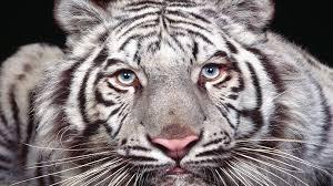 desktop photos of baby white tigers wallpaper download hd