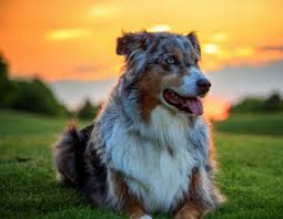 movies with australian shepherds in them the australian shepherd hard working herding dog and friend to