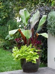 Tropical Potted Plants Outdoor - best 25 banana plant care ideas on pinterest swiss cheese plant