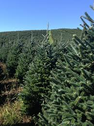 buy a real christmas tree online live premium grade fraser fir