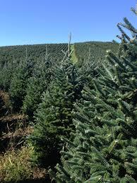 buy a real christmas tree online live premium grade fraser fir