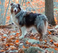 Living With A Blind Dog Australian Shepherd Dog Breed Information Pictures