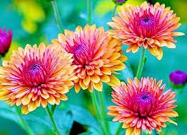 flowers in november november birth flower news24