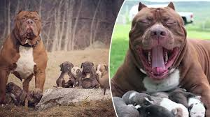american pitbull terrier jaw huge 175 pound pitbull will make your jaw drop u2014now has 8 puppies
