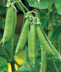 Container Gardening Peas - the 35 easiest container and pot friendly fruits vegetables and