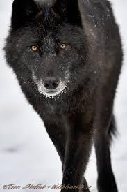 black white wolf elements