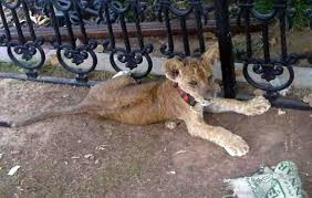 lions for sale pet lion cub on sale locally for dh50k emirates 24 7