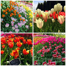 Skagit Valley Tulip Festival Bloom Map Tulips And State Parks And Bridges Oh My Adventuring The Great