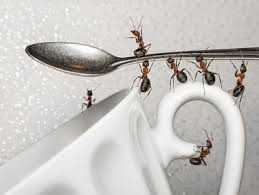 Ants In The Bathroom by Brightnest Cornmeal The Easiest Way To Get Rid Of Ants