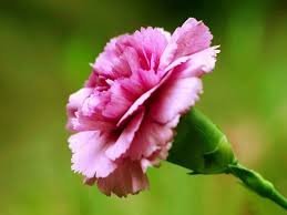 Purple Carnations 45 Wonderful Carnation Flowers For Bride Golfian Com