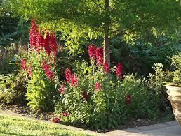 cardinal flower cardinal flower compliment perennial lobelia thetreefarm